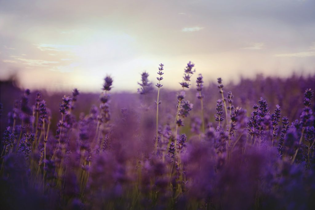 Where is Lavender Grown: Photo of a lavender field in low sunlight focused on a few plants