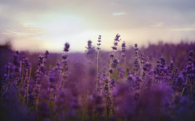Where is Lavender Grown, The History, and its Benefits